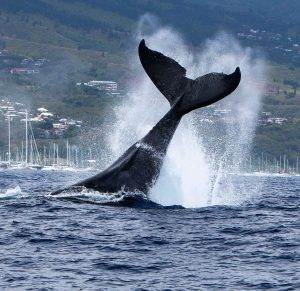 Humpback whale tail coming out of water in Tahiti